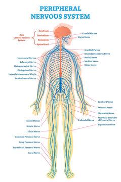 Peripheral nervous system, medical vector illustration diagram with full body nerve scheme.