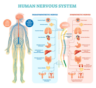 Human nervous system medical vector illustration diagram with parasympathetic and sympathetic nerves and all connected inner organs.