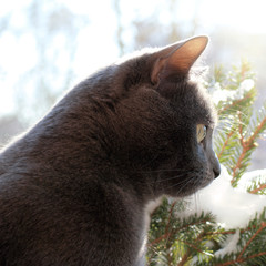 spring walk outdoors/ gray cat against the green tree branches in the side view of the snow
