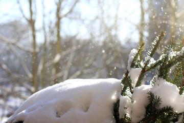 early spring in a city park/ green fir paws in a snowdrift against a blurred outline of trees