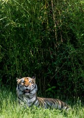 Relaxing tiger in wild