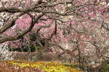 White plum and red plum tell the spring in Tokyo, Japan