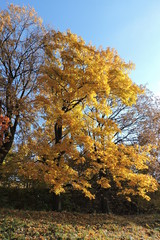 A maple with golden leaves in autumn