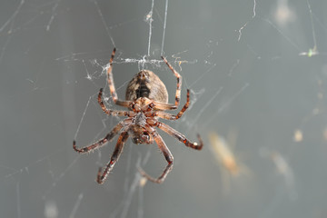 Large hairy spider in a web on a gray background