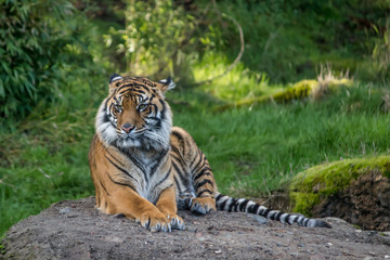 Tired tiger on a rock