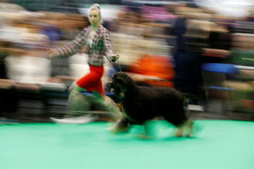 A handler shows an Afghan Hound during the second day of the Crufts Dog Show in Birmingham