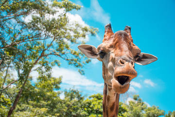 A head shot of giraffe with high tree and blue sky color.