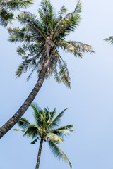 Two coconut palm trees against bright blue sky. Travel, vacation concept. Text space