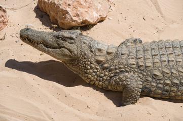 Door stickers Crocodile Krokodil nimmt ein Sonnenbad