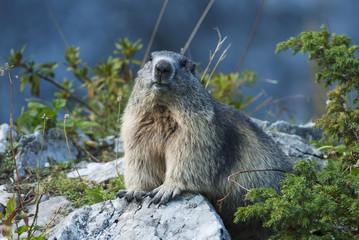 Alpine Marmot, Marmota marmota, mountain mammal in Alps,Switzerland, Europe