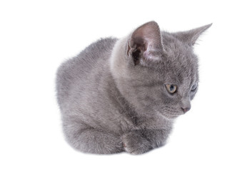 Beautiful lying small blue cat is isolated on a white background