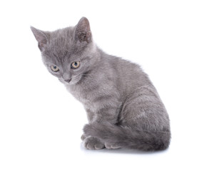 Beautiful small blue cat is isolated on a white background