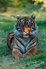 Portrait of a sitting tiger