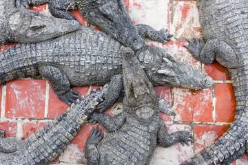 Crocodiles farm at Battambang, Cambodia