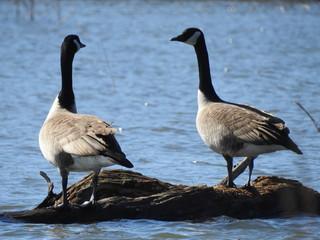 geese, nature, water, ducks, beautiful, landscape, marsh