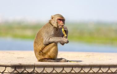 Wild street monkey in India