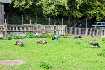 Many blue peacocks are foraging on the grass