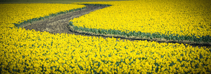 Top view s-curved winding path in daffodil farm at Skagit Valley, WA, USA. Springfield of bright yellow narcissus flower blossom. Nature and agriculture background. Panorama