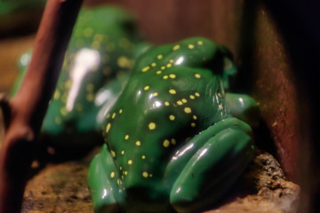 yellow spotted frog from behind