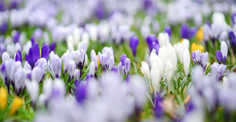 Blooming crocus flowers in the park. Spring landscape.