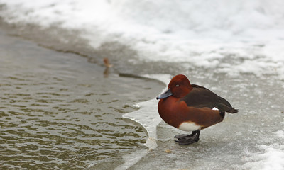 View of a brown ferruginous duck on the bank of a frosted pond