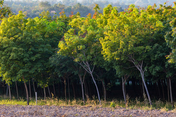 Rubber Trees Farm