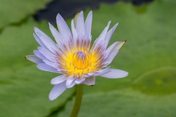Purple Lotus Bloom