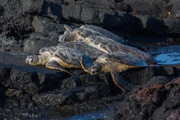 Green Sea Turtles sunbathing
