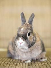 A Dwarf Rabbit with agouti markings