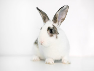 A cute white rabbit with brown markings on a white background