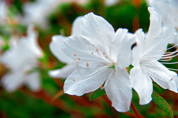 Flowering of Azalea. Snow-white buds against the background of green foliage. White petals of delicate flowers.