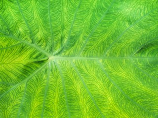 Closeup shot of Giant Alocasia / Elephant Ear / Giant Taro plant (scientific name: Alocasia macrorrhizos (L.) G.Don) leaf for background, backdrop, or wallpaper.  Selective focus.