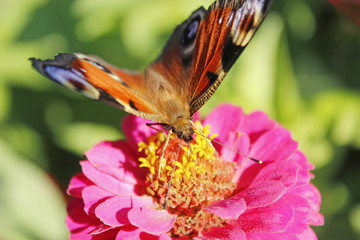 Macro of butterfly peacock eye collecting nectar on zinnia. Butterfly on flower