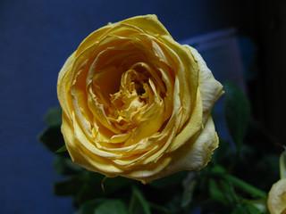Fading yellow rose