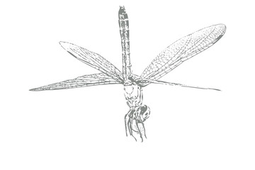 Dragonfly Sketch on White Background