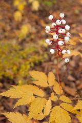 Baneberry Rises Above Autumn Woodland Floor