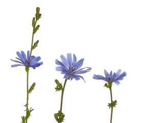 Three Purple Chicory Flowers Stand Upright