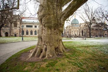 Big plane tree in Dresden, Saxony, Germany