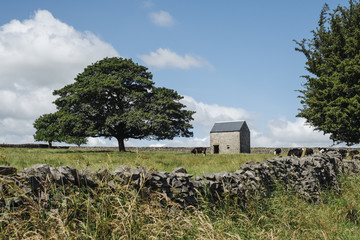 Grazing cattle, tree and barn. Tideswell, Derbyshire, UK.