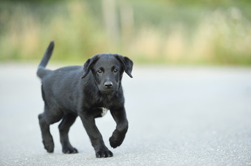 Mixed Black Labrador Retriever on a street in summer, Upper Palatinate, Bavaria, Germany