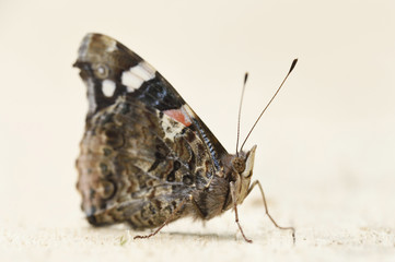 Close-up of a Red Admiral (Vanessa atalanta) on a wooden board in early summer, Wildpark Alte Fasanerie Hanau, Hesse, Germany