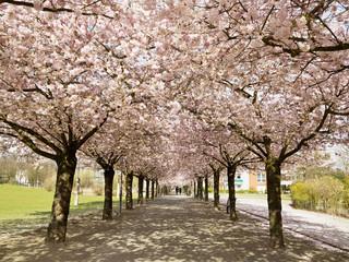 Cherry Blossoms, North Rhine-Westphalia, Germany