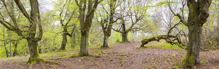 Old European beech trees in Kellerwald-Edersee National Park