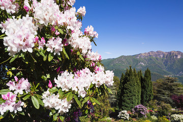 Blooming Rhododendron and Conifers in Spring, Parco San Grato, Lugano, Ticino, Switzerland