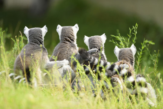 Rear view of ring-tailed lemurs in grass, Zoo Augsburg, Germany