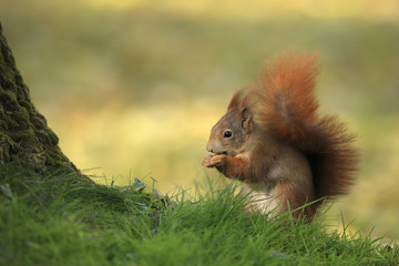 European Red Squirrel (Sciurus vulgaris) with Hazelnut, Germany