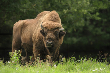 European Bison standing in grassy field, Germany