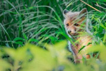 Fox pup (Vulpes vulpes)