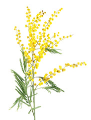 Branch of mimosa or silver wattle (Acacia dealbata) with yellow flowers isolated on white background
