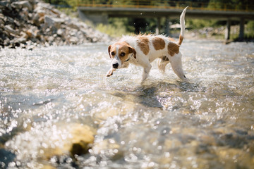 Dog crossing the river